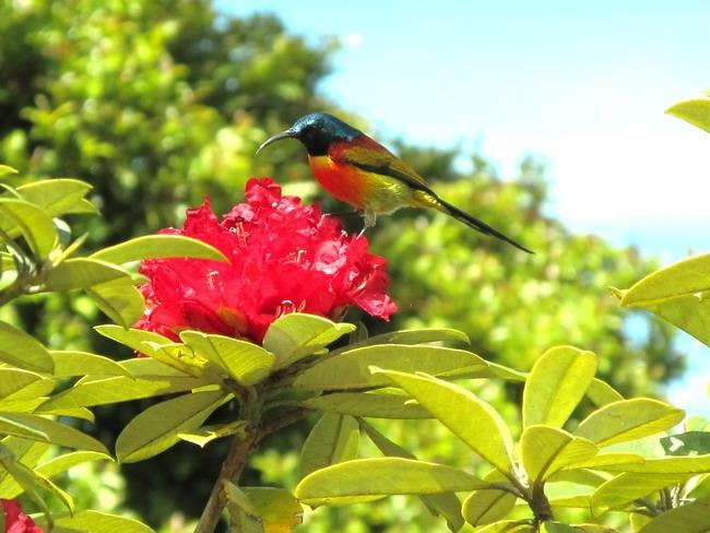 กินปลีหางยาวเขียว นกต้อนรับ