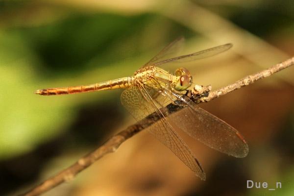 แมลงปอบ้านใหม่ปีกใส Neurothemis intermedia