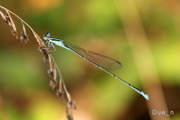 แมลงปอเข็มเรียวฟ้า Aciagrion borneense ตัวผู้