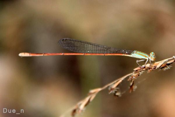 แมลงปอเข็มเรียวสามสี Aciagrion pallidum ตัวเมีย