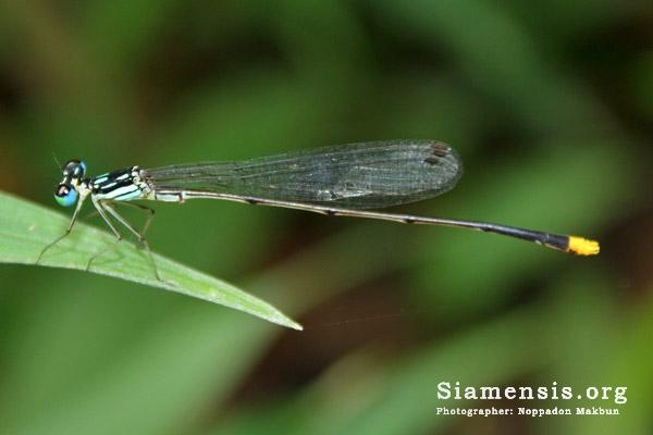แมลงปอเข็มท้องยาวดอยสุเทพ Coeliccia doisuthepensis
