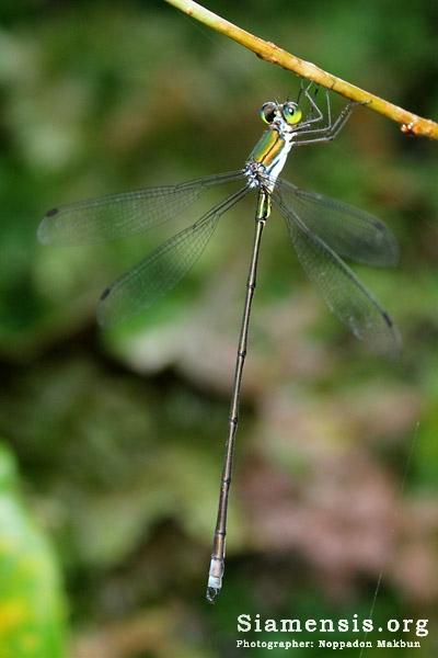 แมลงปอเข็มปีกกางใหญ่ไทย Megalestes kurahashii
