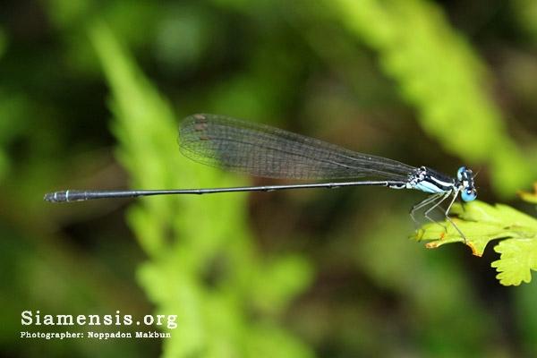 แมลงปอเข็มท้องยาวลูกัล Coeliccia loogali