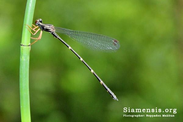 แมลงปอเข็มภูเขาพม่า Burmargiolestes melanothorax