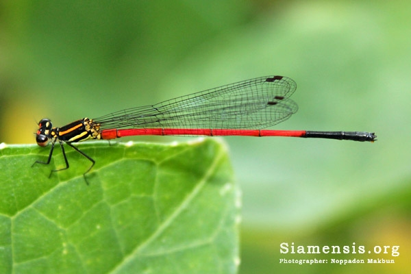 แมลงปอเข็มหญ้าปลายดำ Calicnemia erythromelas