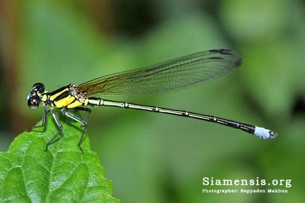 แมลงปอเข็มน้ำตกแฟนซีธรรมดา Anisopleura furcata