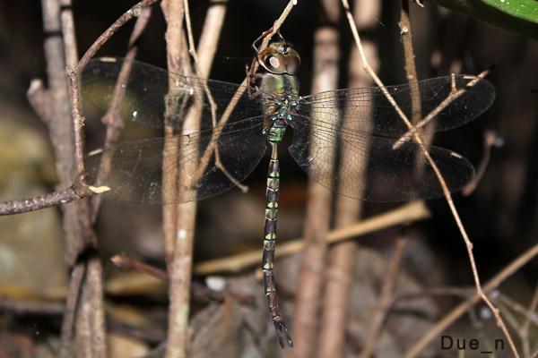 แมลงปอยักษ์รีทีก้านยาว Gynacantha subinterrupta