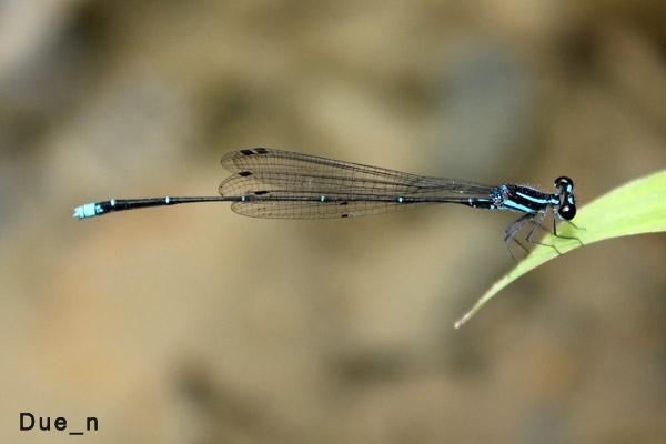 แมลงปอเข็มหางเข็มเอราวัณ Prodasineura laidlawii ตัวผู้