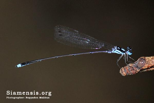 แมลงปอเข็มท้องยาวฟ้าสองขีด