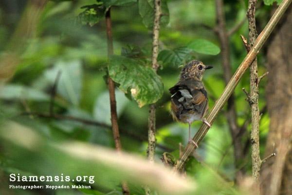 นกกางเขนดง Copsychus malabaricus วัยเด็ก