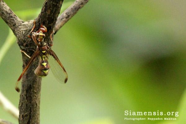 แมลงช้างตั๊กแตน (mantisfly)