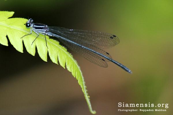แมลงปอเข็มหญ้าแถบเขียว