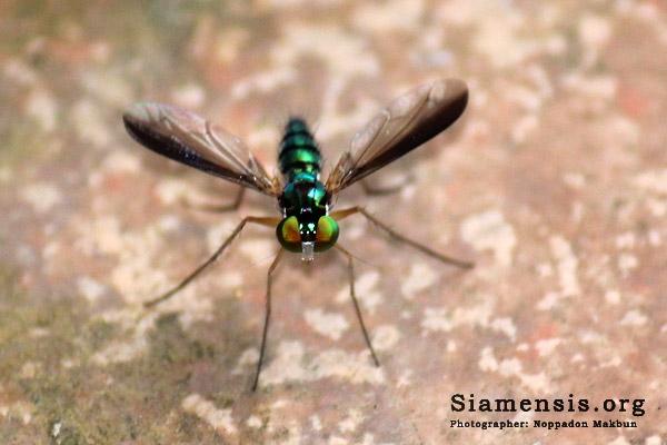 แมลงวันขายาว (long-legged fly)