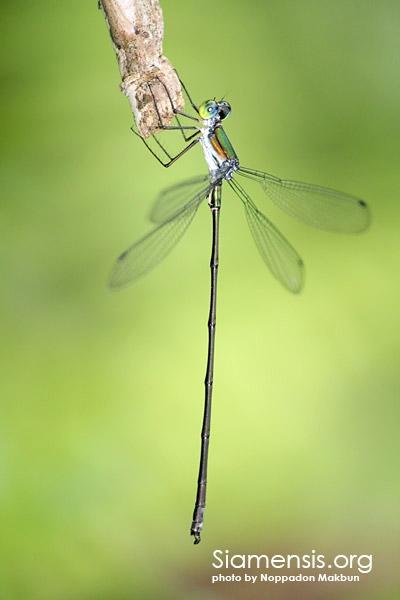 แมลงปอเข็มปีกกางใหญ่ไทย