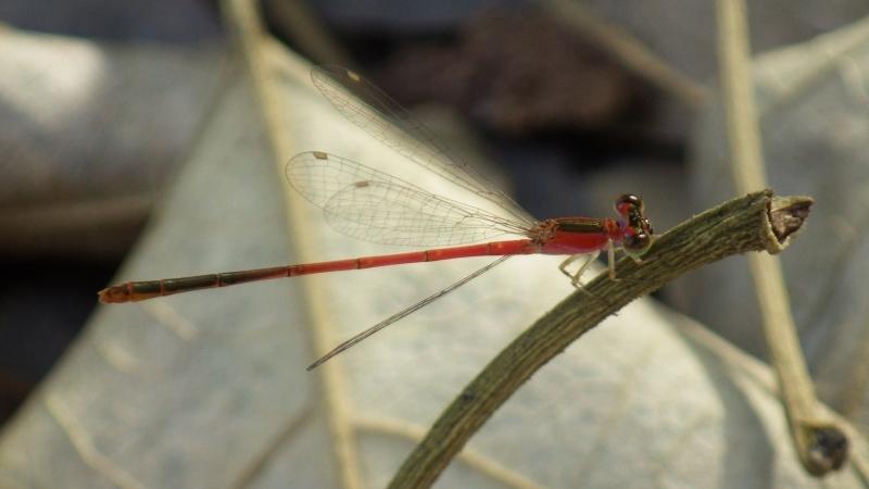 แมลงปอเข็มตัวที่ ๒