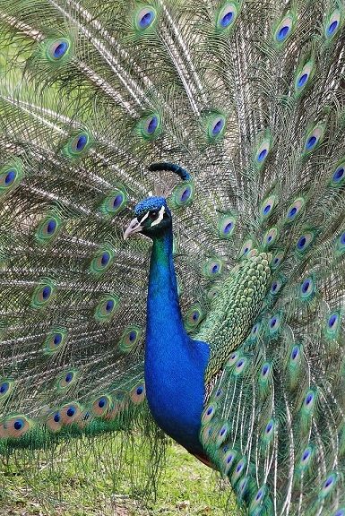 indian_peacock.jpg