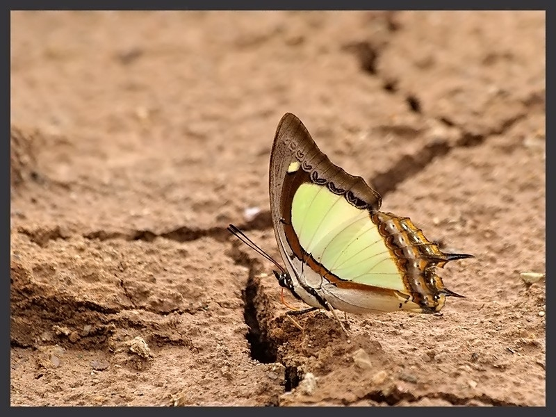 indian_yellow_nawab.jpg