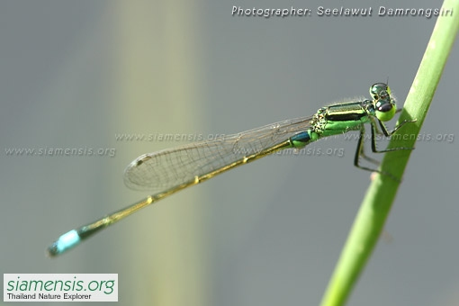 ischnura-senegalensis-2.jpg