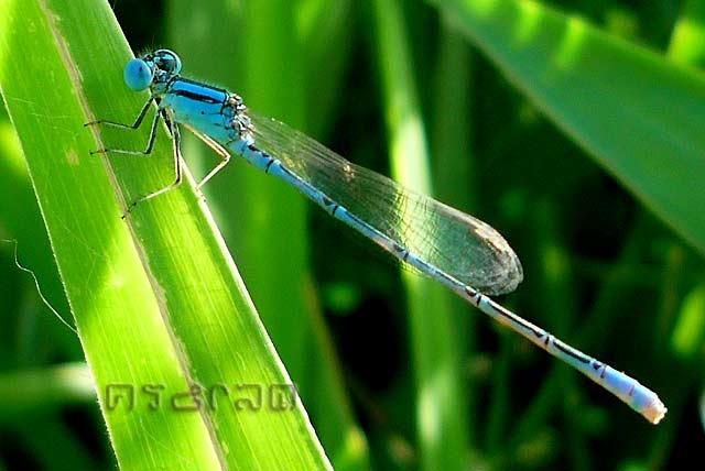 ตัวที่ 36 แมลงปอเข็มบางมลายู ตัวผู้  Paracercion malayanum