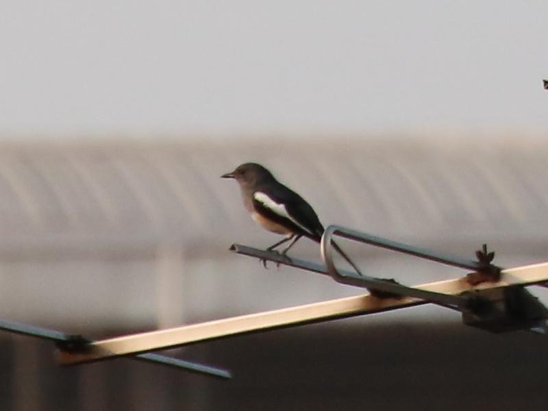 นกกางเขนบ้านตัวเมีย