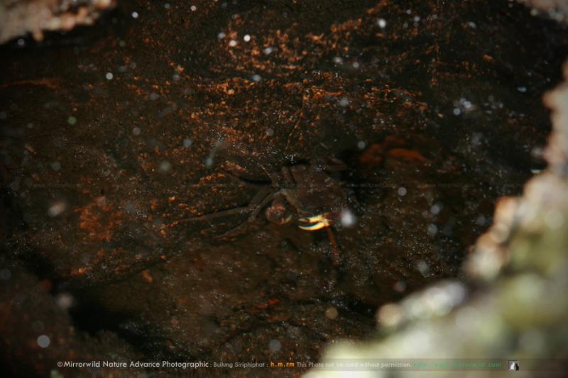 ปู? พบอยู่บนเขาหินปูนระดับไม่แน่ใจอยู่ในโพรงหินที่มีน้ำขัง ขนาดประมาณเหรียญ 1 บาท