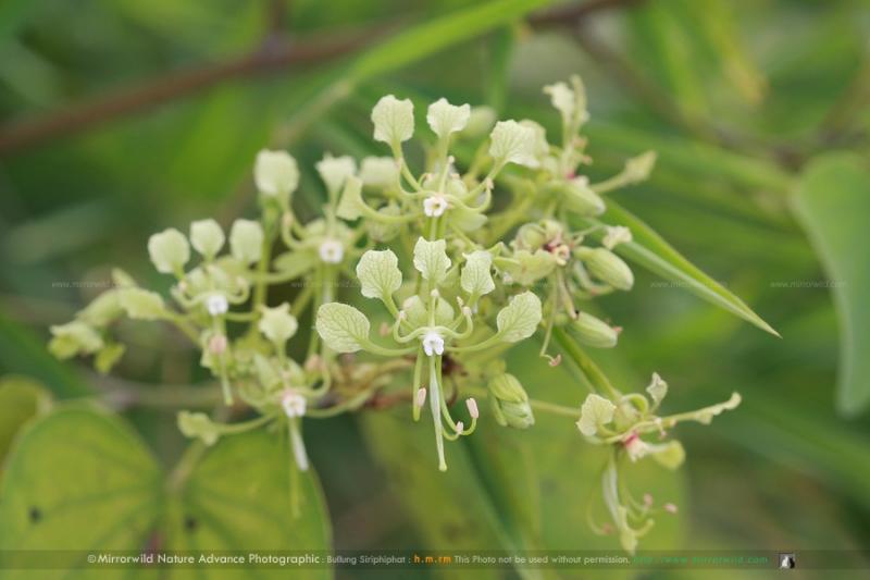 เสี้ยว Bauhinia sp