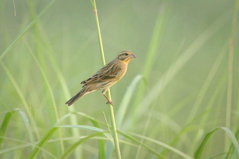 นกจาบปีกอ่อนอกเหลือง