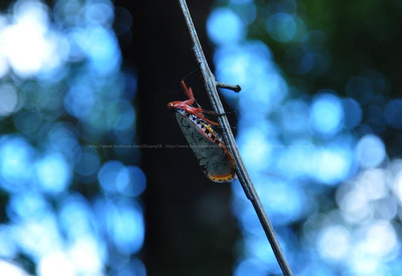 Aphaena consimilis