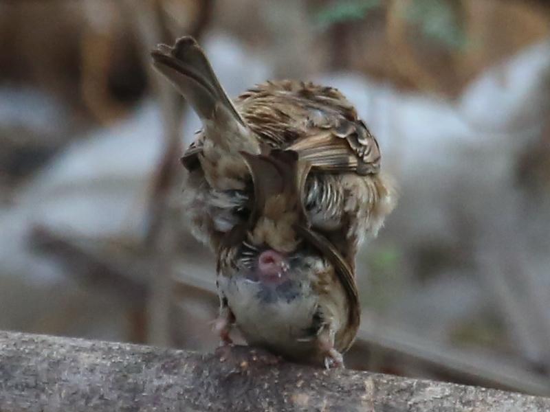 ความรักของนกกระจอก-1