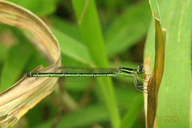 ตัวที่30 แมลงปอเข็มเล็กมินิม่า ตัวเมีย Agriocnemis minima