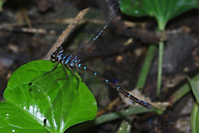 อยากเรียกชื่อไทยว่า แมลงปอเข็มภูเขาแถบฟ้าพาดกลอน
