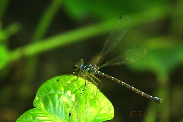 ตัวที่ 25 แมลงปอเข็มภูเขาฟ้าพาดกลอน (ตั้งชื่อไทยเอาเอง)  Podolestes coomansi ตัวเมีย