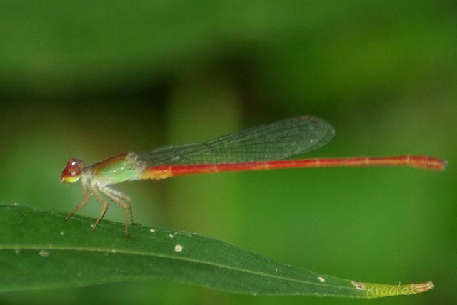 แมลงปอเข็มสีพื้นช้อย Ceriagrion chaoi ตัวผู้