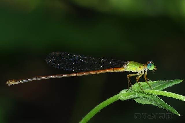 ตัวที่ 27 แมลงปอเข็มสีพื้นเขียวส้ม ตัวเมีย Ceriagrion auranticum