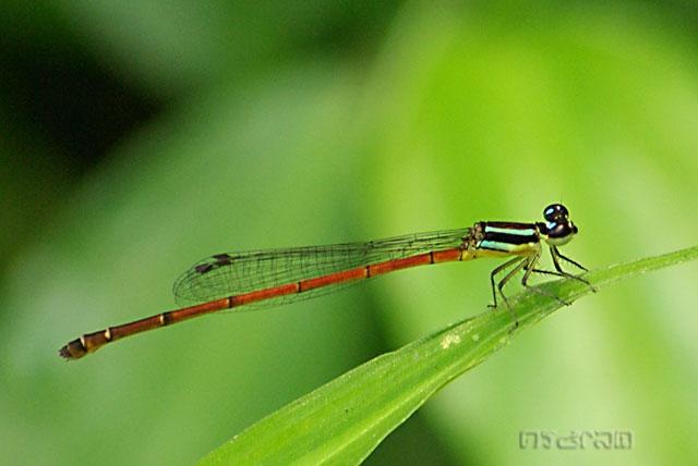 แมลงปอเข็มเล็กหางตุ้ม Argiocnemis rubescens rubeola ตัวเมีย หรืออาจจะ Mortonagrion aborense