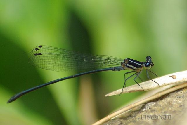 แมลงปอเข็มหญ้าเขียวจาง Calicnemia imitans ตัวผู็