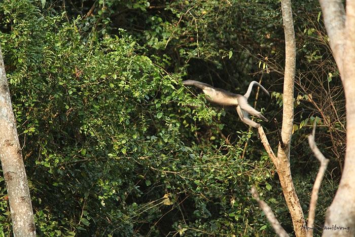 leaf_monkey_jump.jpg