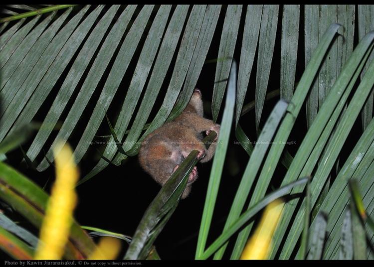 ลิงลมใต้ Nycticebus coucang