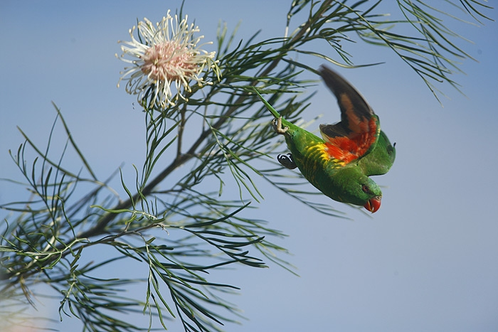 Scaly-brested Lorikeet (Trichoglossus chlorolepidotus)