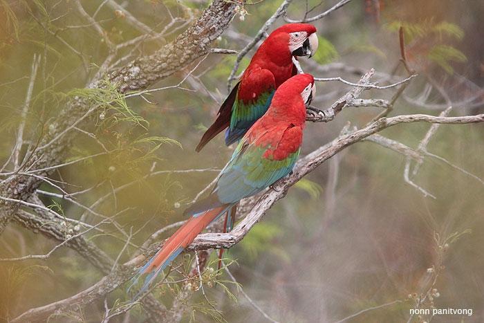 macaw_greenwing.jpg