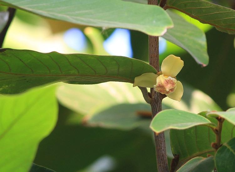 นมหนู Mitrephora vandiflora