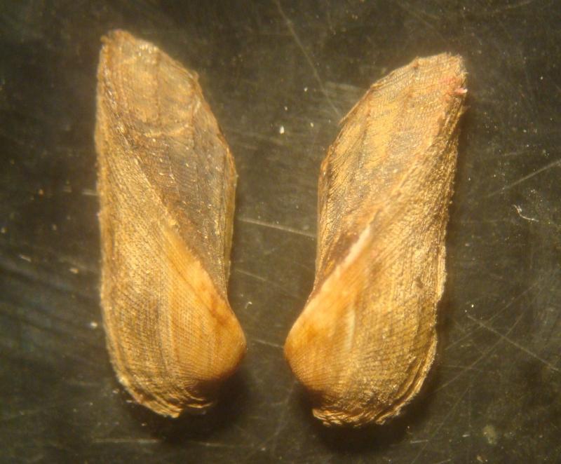 mollusca-arcidae-scaphula_pinnadsc05235.jpg