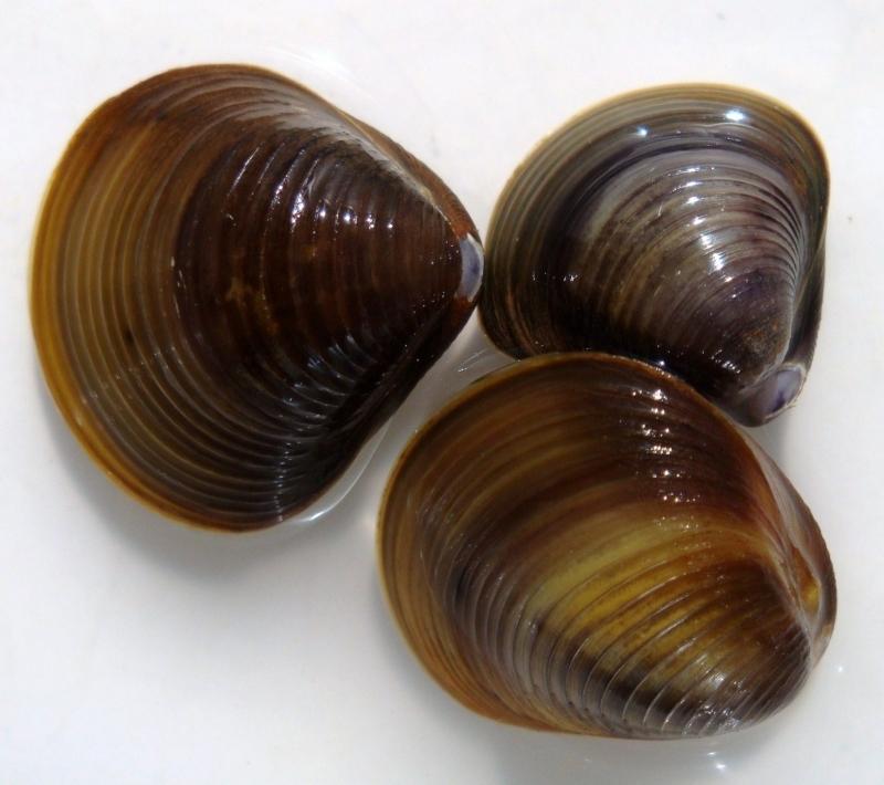 Corbicula