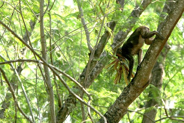 ลิงเสนกินฝักกระถินยักษ์ อีกหนึ่งตัวอย่างชนิดต่างถิ่นให้ประโยชน์กับสัตว์ท้องถิ่น (ยั่งยืนหรือเปล่าก็อีกเรื่องหนึ่ง อย่างไรก็ต้องควบคุมไม่ให้รุกราม)