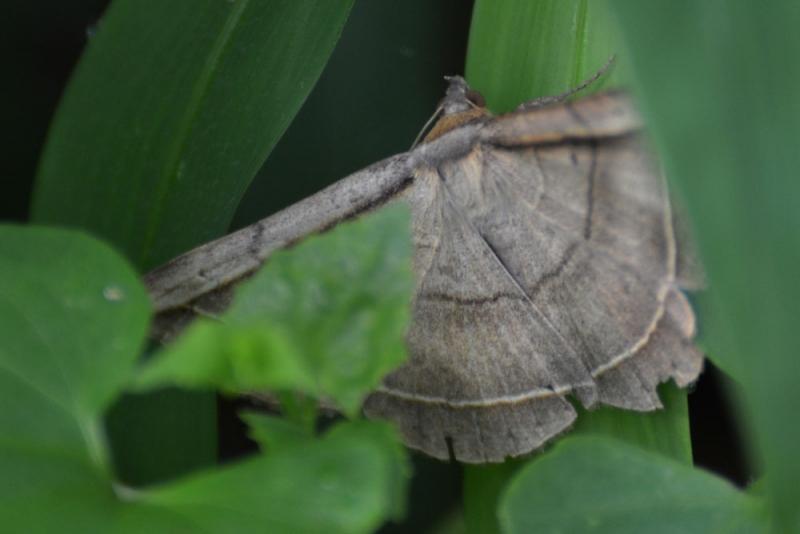 moth กางปีกแผ่ราบ