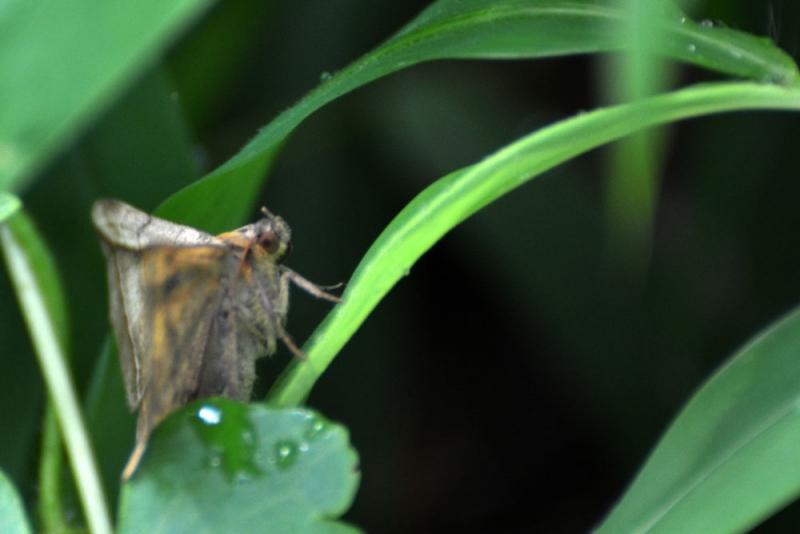 moth กางปีกตั้ง