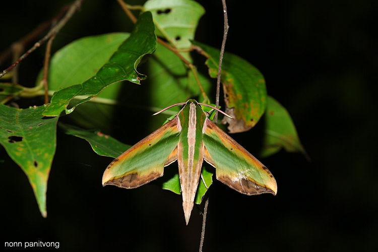 moth_hawk.jpg