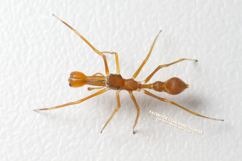 myrmarachne_plataleoides-male-7mm10mm-huamark_bangkapi-bkk-30-10-11.jpg