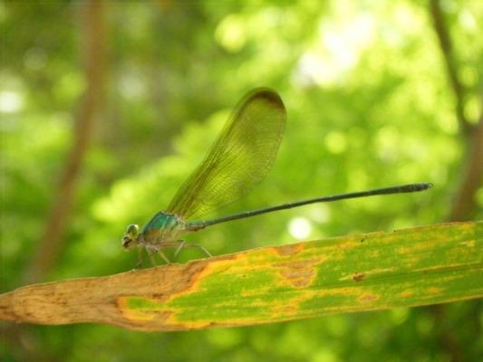 แมลงปอเข็มน้ำตกใหญ่ธรรมดา Vestalis gracilis