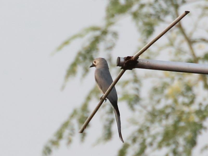 นกแซงแซวสีเทา-1